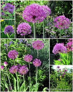 Purple Sensation Allium.  Calgary hardy.