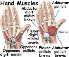 lumbricals of the hand - - Yahoo Image Search Results