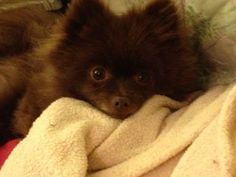 Little Bear the Pomeranian