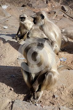 Photo about A beautiful closeup portrait of a langur monkey at the top of a mountain in Pushkar, Rajasthan, India. Image of himalaya, eyes, beautiful - 69527135 Rajasthan India, Monkeys, Close Up, Mountain, Stock Photos, Portrait, Top, Animals, Image