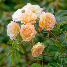 A healthy rose, flowering freely and continually. Buy Ghislaine de Féligonde from David Austin with a 5 year guarantee and expert aftercare. Thornless Roses, Shrub Roses, David Austin Roses, Bed Of Roses, Austin Rosen, Rose Foto, Ronsard Rose, Parfum Rose, Growing Roses