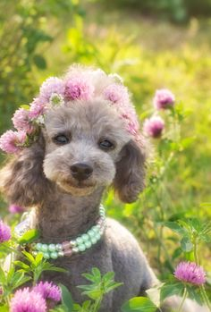 poodle...so cute