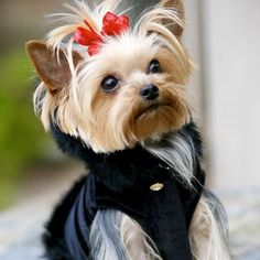 Cute Yorkie cut :): 3 Yorkies 3, Dogs Puppy, Baby Yorkie, Yorkie Dogs, Yorkie Cuteness, Table Numbers, Yorkshire Terriers, Animal