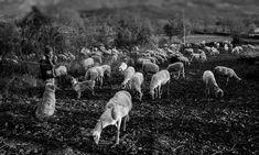 SHEPHERD WITH PRIDE ON HIS FLOCK