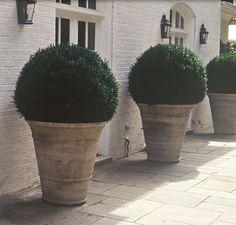 Giant boxwood planters