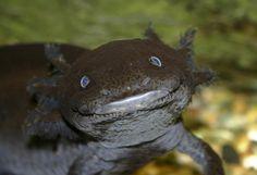 11 Awesome Axolotl Facts