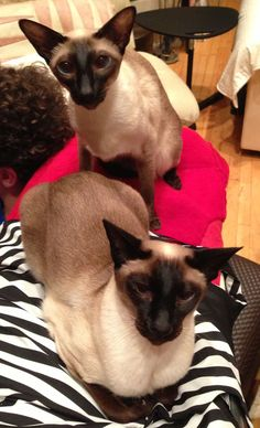 Siamese Cat Gallery - Cat's Nine Lives Siamese Kittens, Kittens Cutest, Cats And Kittens, I Love Cats, Crazy Cats, Cute Cats, Funny Cats, Oriental Shorthair Cats, Oriental Cat
