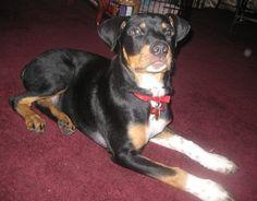 Bernese Rottie- Bernese Mountain Dog / Rottweiler Hybrid Dogs