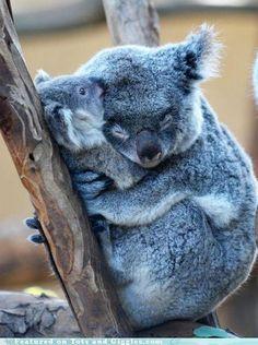 Koala mama/baby love