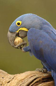 Hyacinth Macaw.  Photo: Pete Oxford. Luxury Amazon & South American Wildlife Tours.