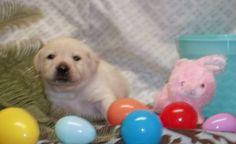 girl English Lab Puppies, Dogs, Animals, Animaux, Doggies, Animal, Animales, Pet Dogs, Dog