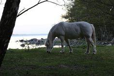 ulkosaaristossa: Helsingholmenin valkoinen hevonen