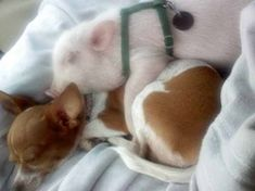 Natural Diet For Pet Pigs & Mini Pig Care ~ Why we feed a raw vegetarian diet, bathing your pig is at the bottom of the page as well as hoof & ear care, bedding, rooting box & how to keep you pig parasite free