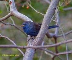 Yellow-billed Blue Finch, Blue Finch, Porphyrospiza caerulescens, IUCN Red-Listed as Near-Threatened due to habitat loss, | Flickr - Photo Sharing!