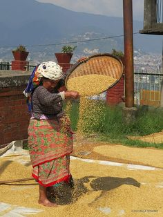 mondatura del riso (Kirtipur, Nepal)