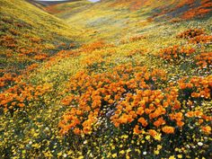 View of California Golden Poppy Flowers on Hill, Antelope Valley, California, USA Photographic Print by Stuart Westmorland at Art.com California Art, California Wildflowers, Frames For Canvas Paintings, Affordable Wall Art, Cool Posters, Best Artist, Art For Sale, Find Art, Nature