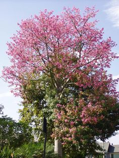 Floss-silk tree - one of the trees very likely to fall during a storm