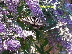 Butterfly in butterfly bush!