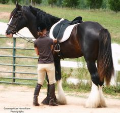 https://flic.kr/p/5YeoGs | Need a Mounting Block? | I couldn't believe how tall this boy is!  Here he is with his trainer, getting ready for a ride.  This is a wonderful Shire stallion, Pal, owned by Avalon Shires.  www.avalonshires.com