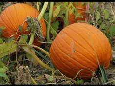 Great how pumpkins grow video!!!!