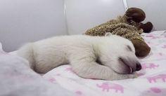 Dieses träumende Eisbär-Baby ist garantiert das Niedlichste, das du seit langem gesehen hast.