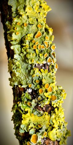 Common orange lichen (Xanthoria parietina) ~ By Norbert Nagel Common orange lichen (Xanthoria parietina) ~ By Norbert Nagel This image. Photographie Macro Nature, Art Grunge, Slime Mould, Plant Fungus, Mushroom Fungi, Posca, Beautiful Textures, Patterns In Nature, Natural Forms