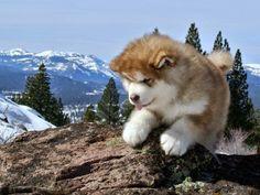 White Wolf : 15 Chubby Alaskan Malamute Puppies That Will Make You Smile