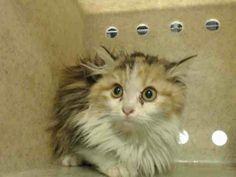 Devore CA (San Bernardino County): Extremely urgent! EMERGENCY! PRECIOUS CATS & KITTENS will DIE! PLEASE SAVE THEM!