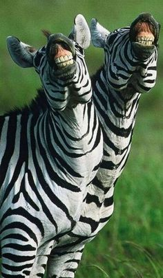 "beautymothernature: "" Beautiful Laughing Zebras Love Moments """