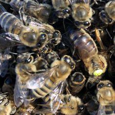 Carnica Bee, Nature, Animals, Animales, Animaux, Bees, Naturaleza, Animais, Scenery