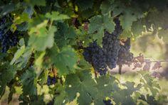 Скачать обои виноград, виноградник, гроздь, ягоды, раздел природа в разрешении 3000x1888