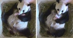 Giant Panda Surprises Zookeepers With Twin Cubs, While Scans Only Showed One Cub…