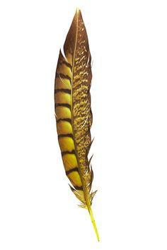 Faisan noble - 20-25 cm - jaune - Plumes.fr