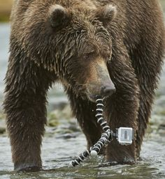 In pictures: GoPro camera films inside grizzly bear's mouth in Alaska - Telegraph