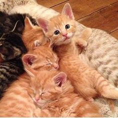 Hilarious Truth About Cats That Every Feline Fan Will Relate To - This Way Come Baby Orange Kittens, Cute Baby Cats, Orange Cats, Kittens And Puppies, Cute Cats And Kittens, Cute Baby Animals, Kittens Cutest, Ragdoll Kittens, Tabby Cats