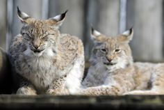 A photo taken on March 25, 2013 shows Eurasian lynxes at a zoological park the eastern French city of Amneville.
