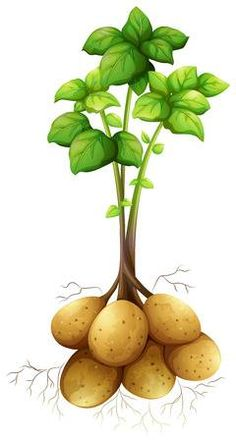 Find Potatoes Stem Leaves Illustration stock images in HD and millions of other royalty-free stock photos, illustrations and vectors in the Shutterstock collection. Leaf Illustration, Root Vegetables, Veggies, Paper Flowers Craft, Pineapple Upside, Photosynthesis, Fruit And Veg, Animal Crafts, Gardens