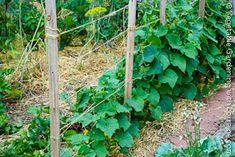 cucumber trellis 2x2 +string