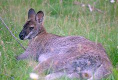 Pictures of Kangaroos, Kangaroo Facts (Page 2)