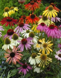 Echinacea, Paradiso, Perennial Zone: Sun: Full Sun Height: inches A carnival of colour, ideal as a backdrop for a mass planting of purple petunias or pink vinca. Flower Garden, Flowers Perennials, Plants, Long Blooming Perennials, Echinacea, Beautiful Flowers, Shrubs, Perennial Plants, Flower Seeds