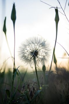 A dandelion is an amazing creation meant to resemble the moment I forget about all of my worries.