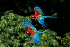 Red-and-green Macaw (Ara chloroptera) / Зеленокрылый ара