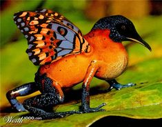 This is a Butterfroguin. It lives in the Brazilian rainforest.