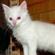 An albino cat and a white cat are not one and the same. Let's take a look at the scientific differences, and what really causes albinism in cats. The Animals, Baby Animals, Strange Animals, Albino Cat, Rare Albino Animals, Amazing Animals, Animals Beautiful, Baby Cats, Cats And Kittens