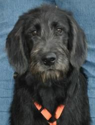 Dudley is an adoptable Labrador Retriever Dog in Newark, DE. Dudley is a 5month old Labrador/Poodle mix who is hoping to find a furrever home! He came to us from an overburdened breeding situation and...