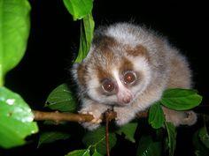 Baby Hill's Slow Sumatran slow loris by Anna Nekaris
