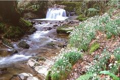 Snowdrop Valley, Exmoor, Wales.  Only open in February