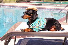 Crusoe Celebrity Dachshund Residence Inn Dallas