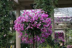 Huge pot of hanging orchids