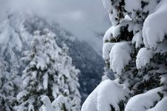 Pines loaded with snow